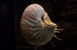 Image of Nautilus