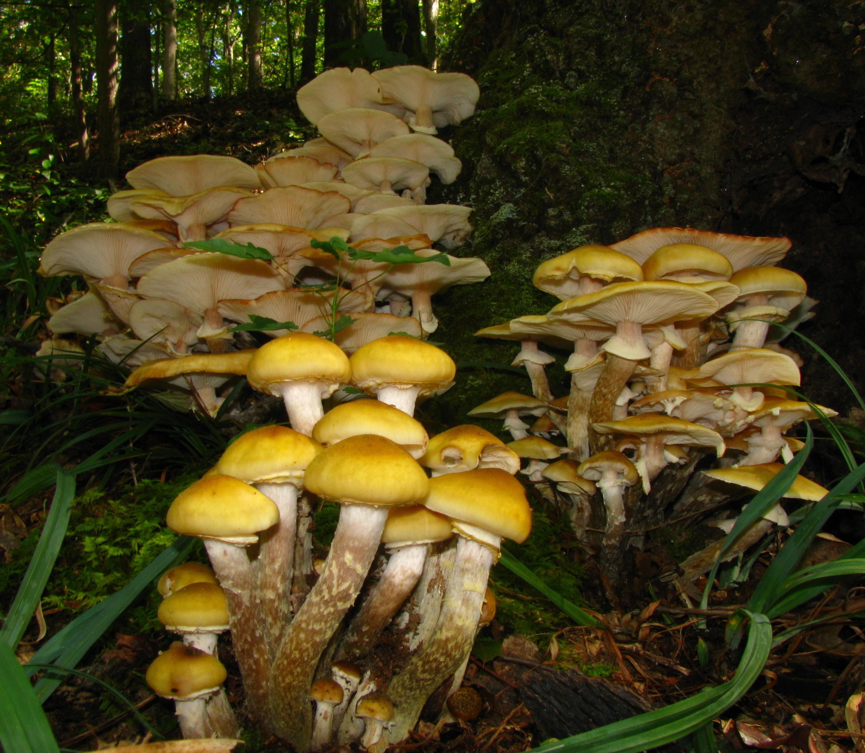 Image of Honey Fungus
