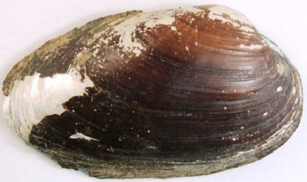 Image of Thick Shelled River Mussel