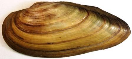 Image of Painter's Mussel