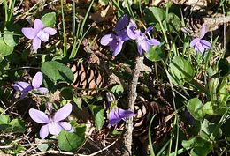 Image of common dog-violet