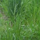 Image of Rough Meadow-grass
