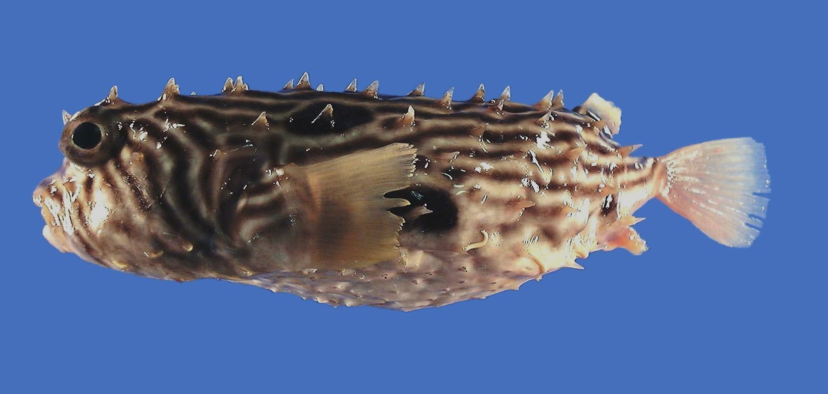 Image of Striped Burrfish