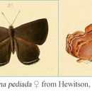 Image of <i>Simiskina pediada</i> (Hewitson 1877)