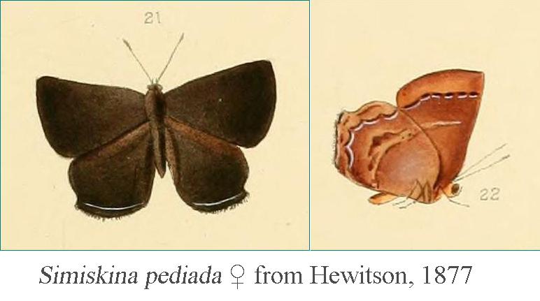 Image of <i>Simiskina pediada</i> (Hewitson 1877)