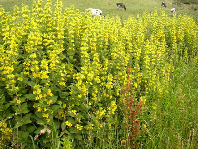 Image of Dotted Loosestrife