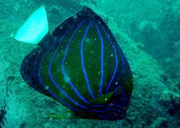 Image of Blue Ring Angelfish