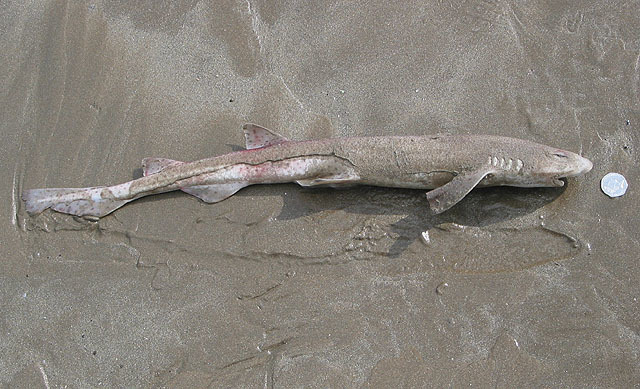 Image of Spotted cat sharks