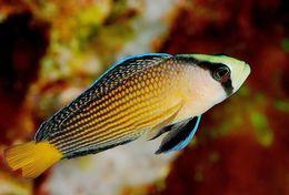 Image of Pseudochromis splendens
