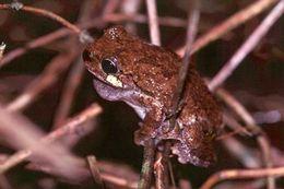Image of Cope's Gray Treefrog