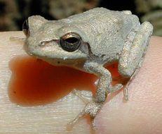 Image of Pine Woods Treefrog