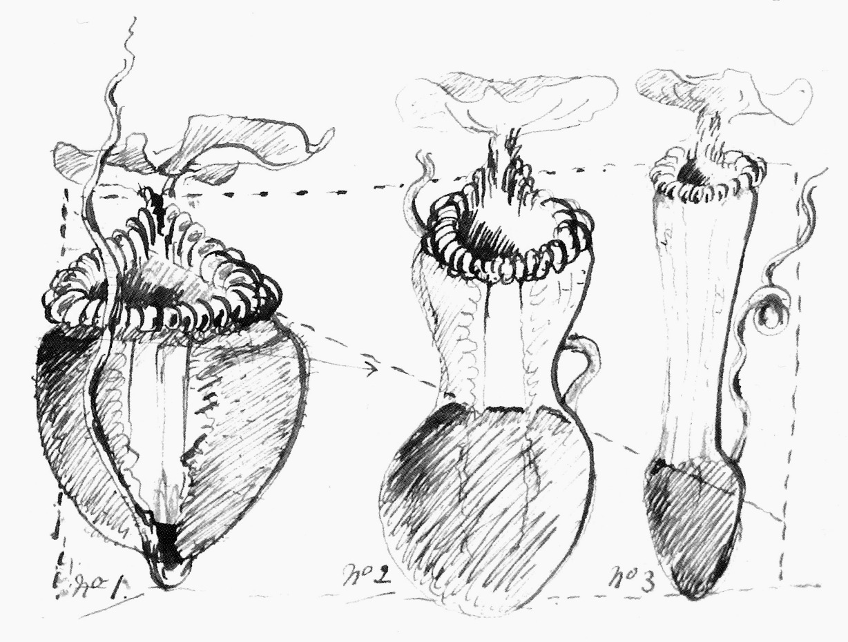 Image of <i>Nepenthes villosa</i>