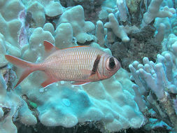 Image of Blackfin Soldierfish