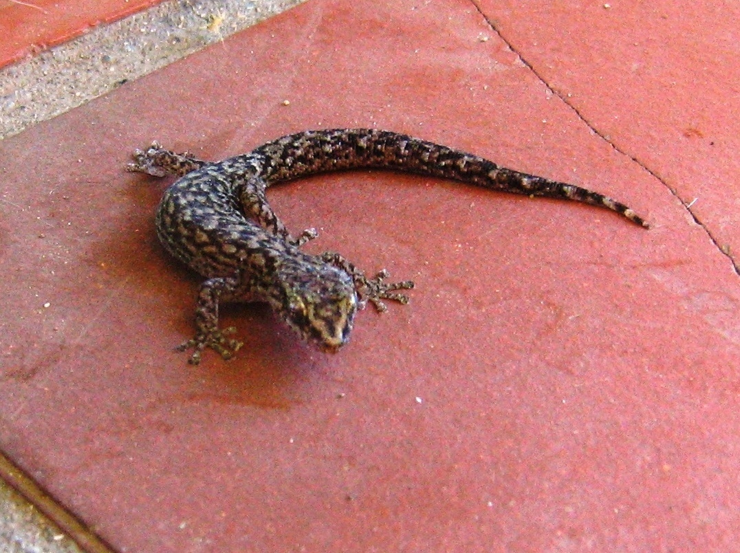 Image of Marbled Leaf-toed Gecko