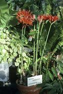 Image of <i>Nerine sarniensis</i> (L.) Herb.