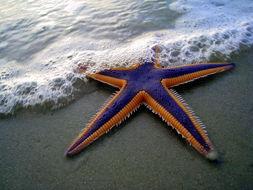 Image of royal sea star