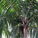 Image of <i>Carpentaria acuminata</i> (H. Wendl. & Drude) Becc.