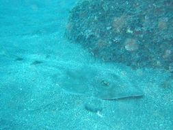 Image of Ringstraked Guitarfish