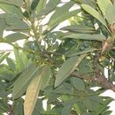 Image of <i>Daphniphyllum macropodum</i> Miq.