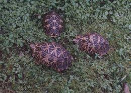 Image of Indian star tortoise