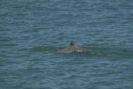 Image of Australian Snubfin Dolphin