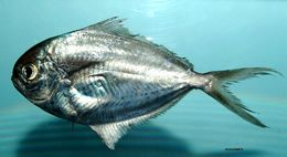 Image of Gulf Butterfish