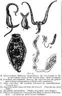 Image of <i>Schistosoma haematobium</i> (Bilharz 1852)