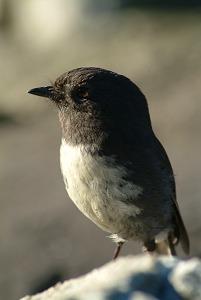 Image of New Zealand Robin