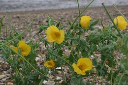 Image of Yellow Horned Poppy
