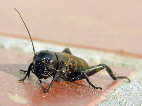 Image of Field cricket