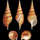 Image of <i>Tibia insulaechorab</i> Röding 1798