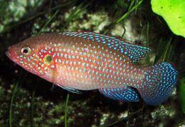 Image of Jewelfish