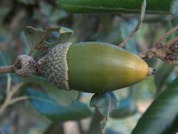 Image of <i>Quercus ilex</i> L.