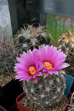 Image of Pincushion Cactus