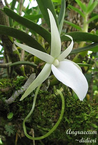 Image of <i>Angraecum didieri</i> (Baill. ex Finet) Schltr.