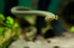 Image of ropefish
