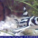 Image of Zebra pleco