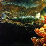Image of Okhotsk atka mackerel