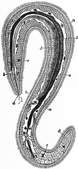 Image of green spoon worm