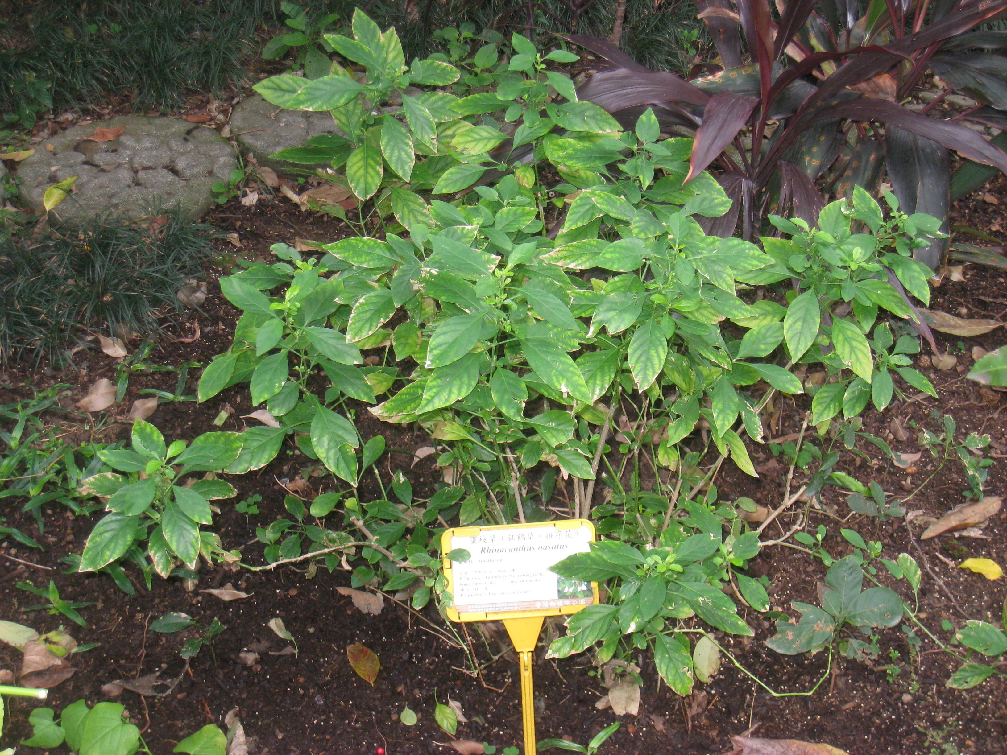 Image of <i>Rhinacanthus nasutus</i> (L.) Kuntze
