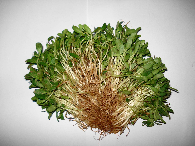 Image of sicklefruit fenugreek