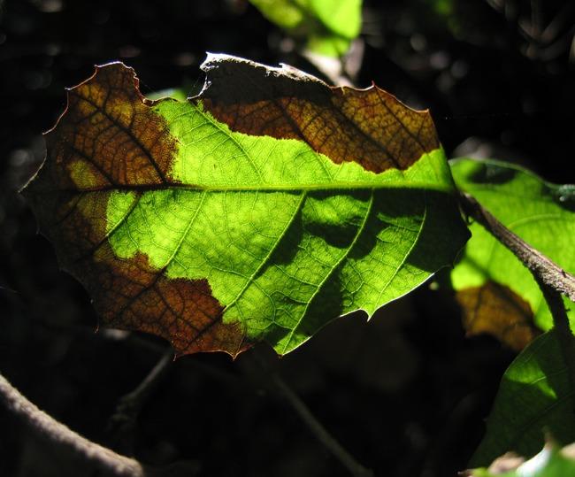 Image of <i>Phytophthora ramorum</i>