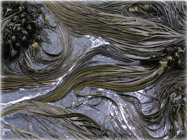Image of New Zealand bull kelp
