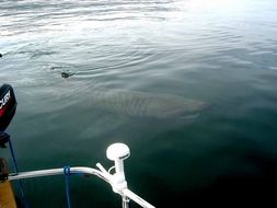 Image of Basking Shark
