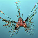 Image of Common lionfish