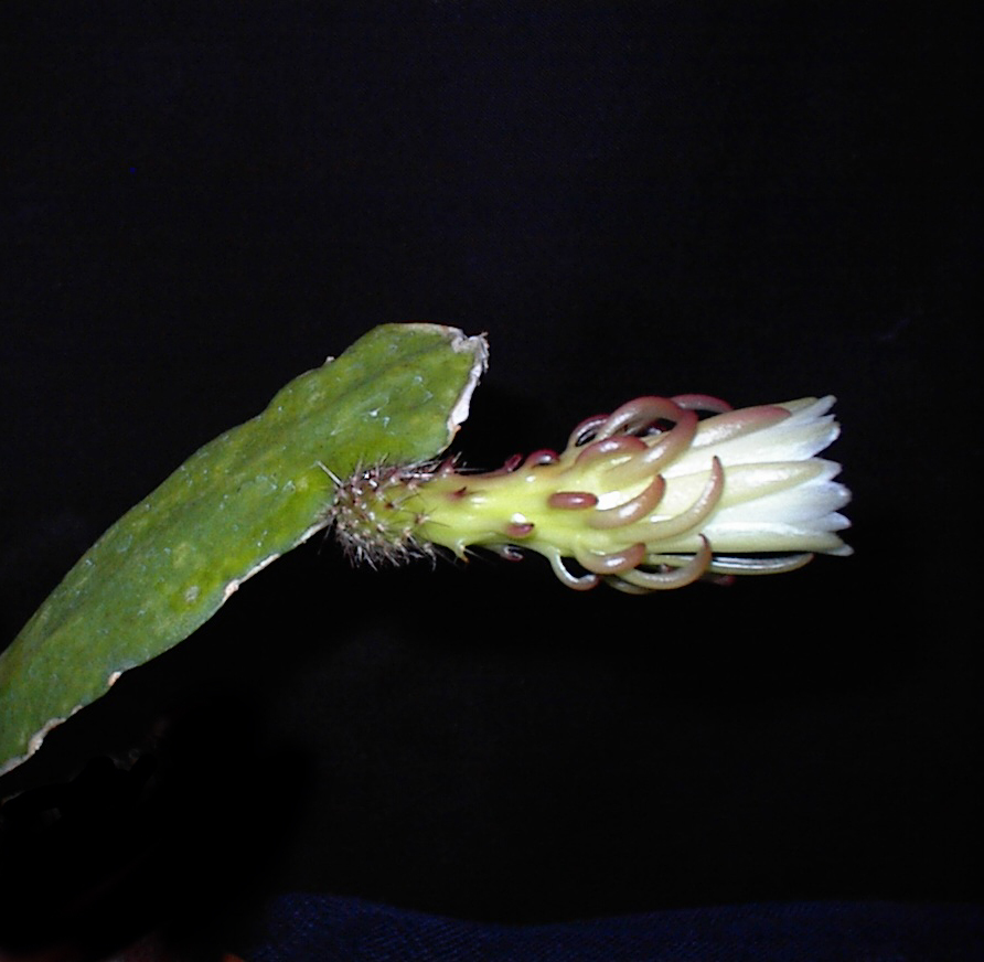 Image of <i>Weberocereus rosei</i> (Kimnach) Buxb.