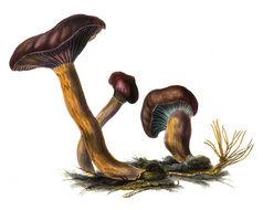 Image of <i>Chroogomphus rutilus</i> (Schaeff.) O. K. Mill. 1964