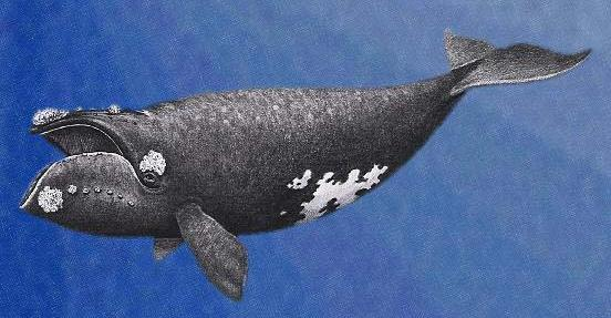 Image of North Pacific Right Whale