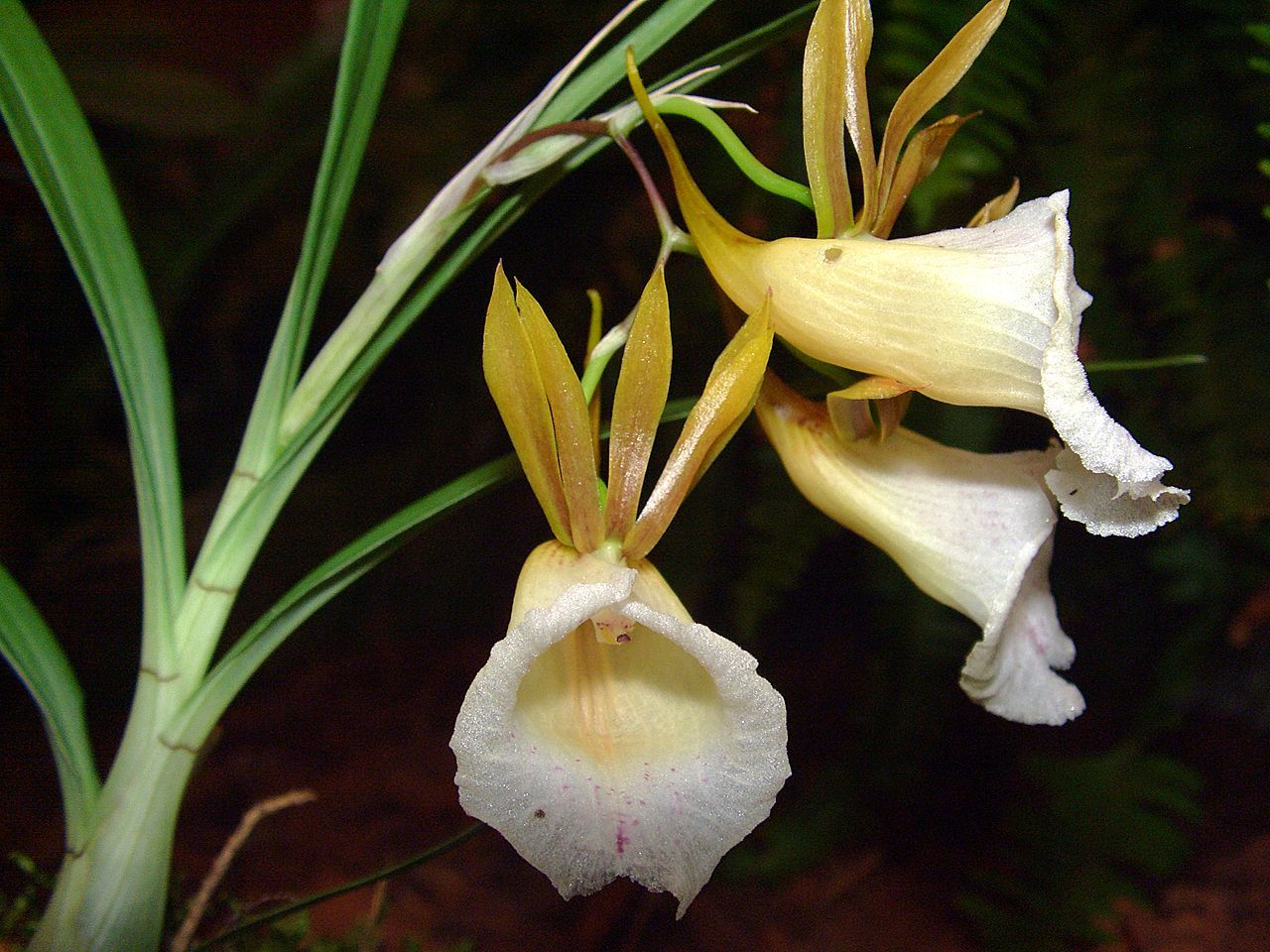 Image of <i>Galeandra baueri</i> Lindl.
