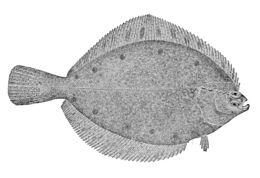 Image of <i>Pleuronectes quadrituberculatus</i> Pallas 1814